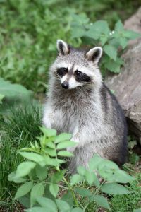 Indiana Raccoon Removal and Control