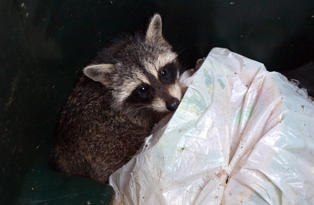Raccoon Removal and Control 317-535-4605
