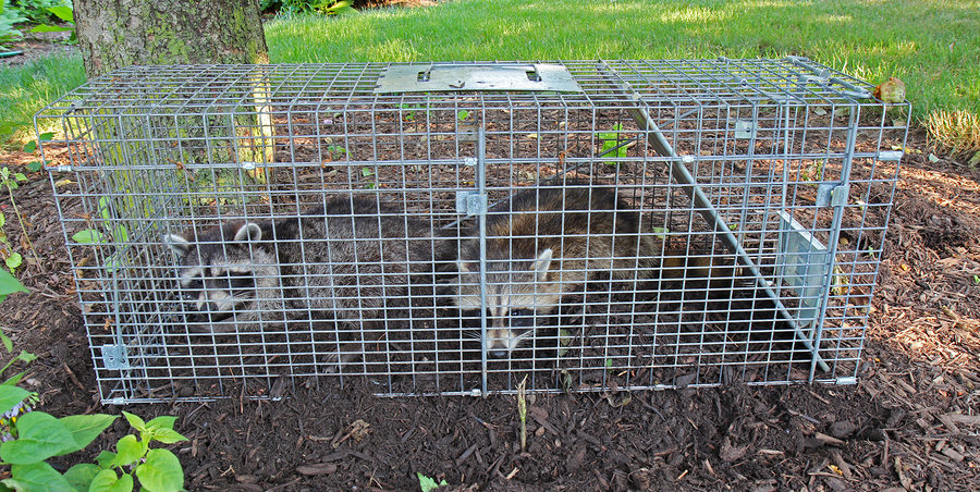 Indianapolis Raccoon Removal and Control 317-535-4605