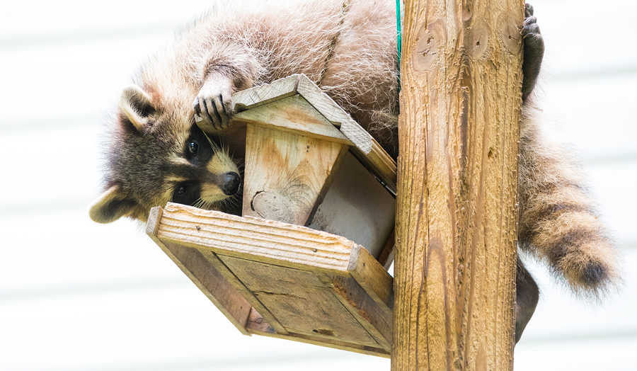 Indianapolis Raccoon Removal and Control