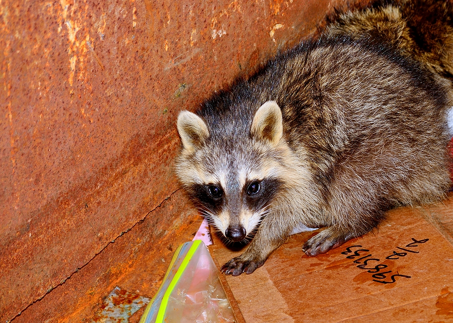 Emergency Raccoon Removal in Indianapolis